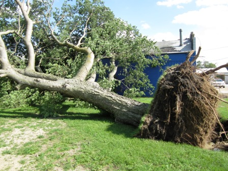 Large Hackberry goes down in 120 MPH wind storm.