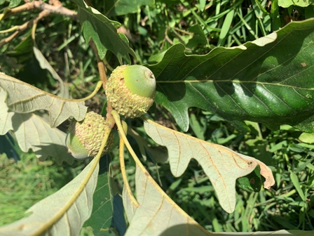 Acorns on Chestnut Oak