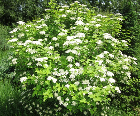 Highbush Cranberry in Bloom
