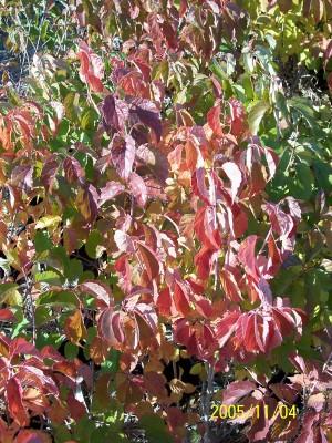 Arrowood fall color