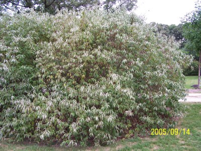 Large round shrub
