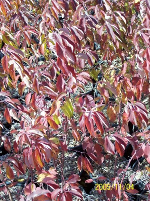 Silky Dogwood fall color