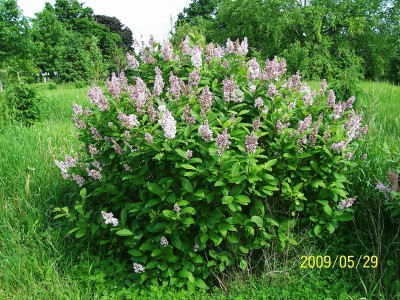 Lillosa Lilac, Nice blooms and does not spread.