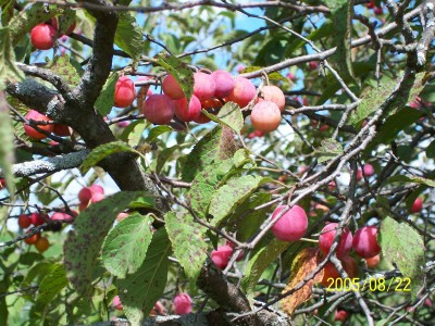 Fruit from American Plum
