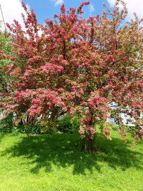 Crabapple in springtime. Lots of blooms and berries in the fall.