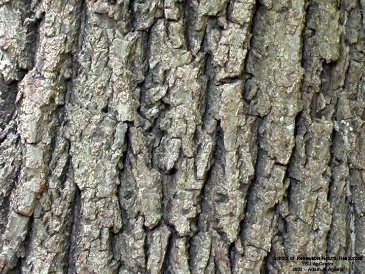 Bark of the Black Walnut