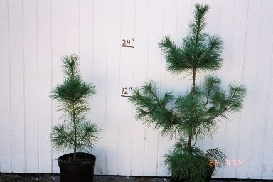 Potted White Pine.