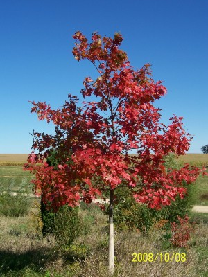 Most beautiful tree for fall color