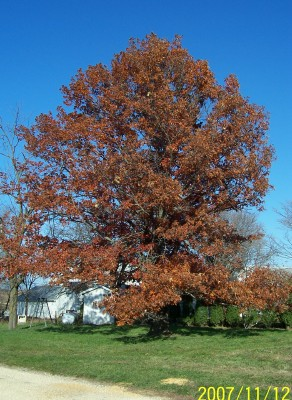 Scarlet Oak holds about 75% of its leaves threw the winter, good for widnbreaks.