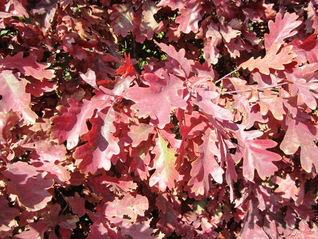 White Oak tree color in fall