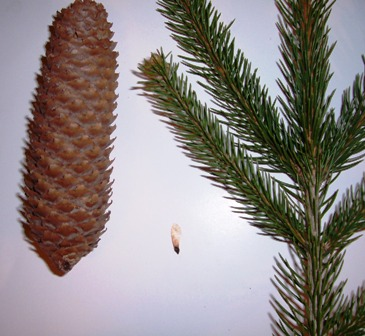 Seed cones are about 6 inches long. Seed shown in middle and branch with its 1 inch long needles.
