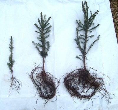 "Bare root-left-seedling, /center-18""-24"" Transplant./ right- 2'-3' Transplant"