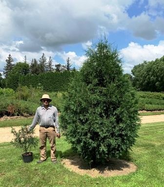 Techny Arborvitae from a 3 ft potted to an 8 ft tree in 5 years. Note weed and grass control.