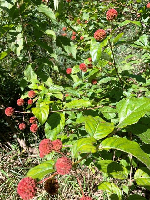 Button Bush Windbreak Trees