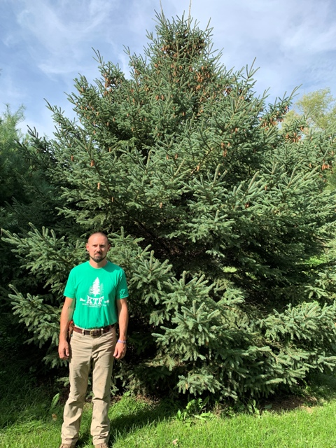 12 year old White Spruce