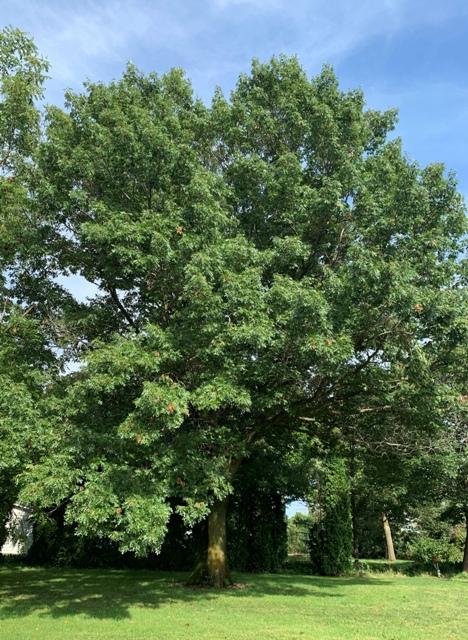 45 year old Scarlet Oak