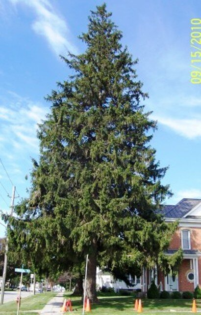 80+ year old Norway Spruce, Best large windbreak tree, very strong and live a long time. We always suggest using this tree in any windbreak.
