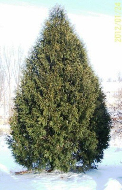 Techny Arborvitae - Best for outside row, look great all year around. We have lots of potted/bare root available this year.