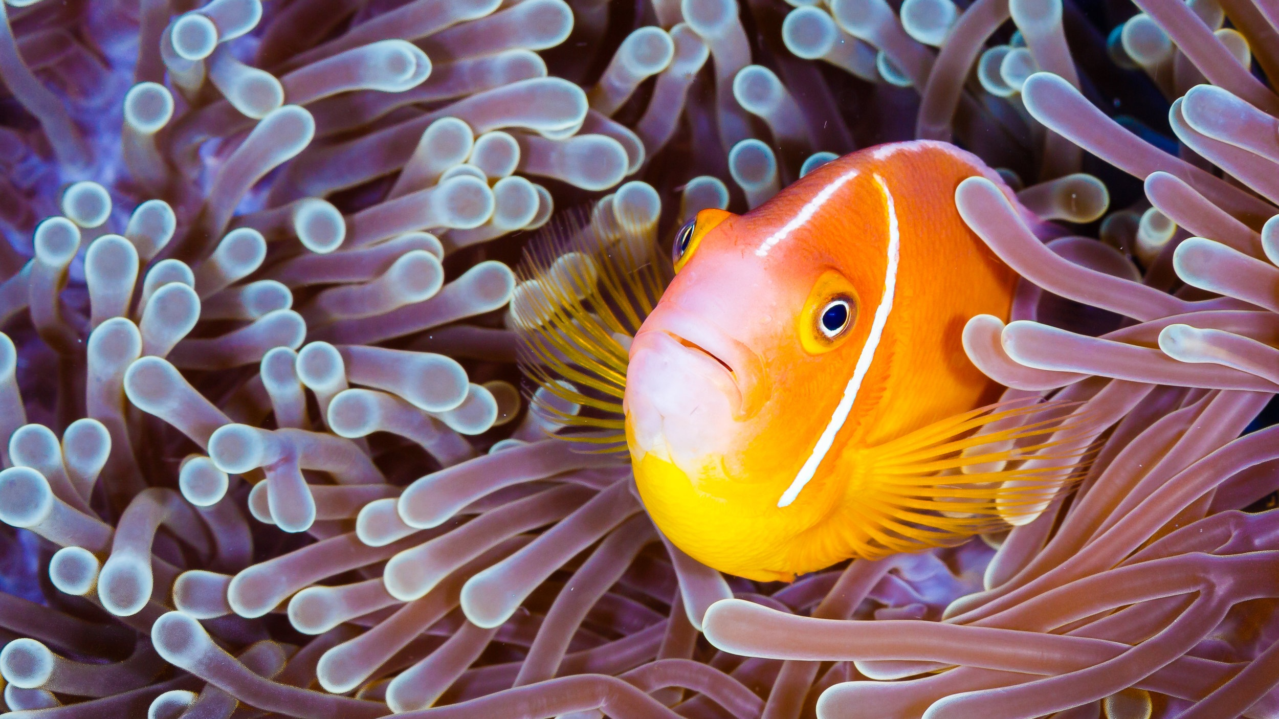 A clownfish taking shelter in an anemone in the Pacific.  Photo Grant Thomas /    Coral Reef Image Bank