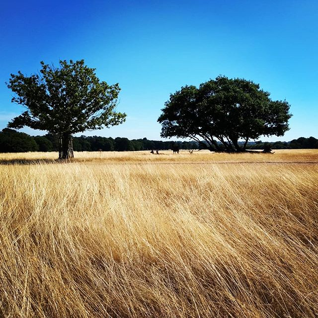 On the plains of the Serengeti... Oh it's actually a London park! Complete with deer and savanna.... As you'd expect.  #london #richmonduponthames #richmondpark #richmondparkdeer #summer #bikes #parklife #dissolve #heavenmanearth #taichi #taiji #meditation