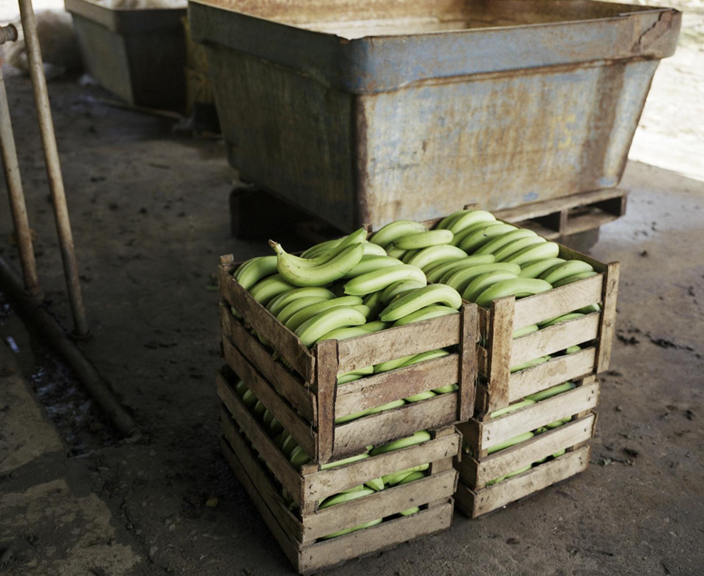 Bonita Banana Plantation, Ecuador