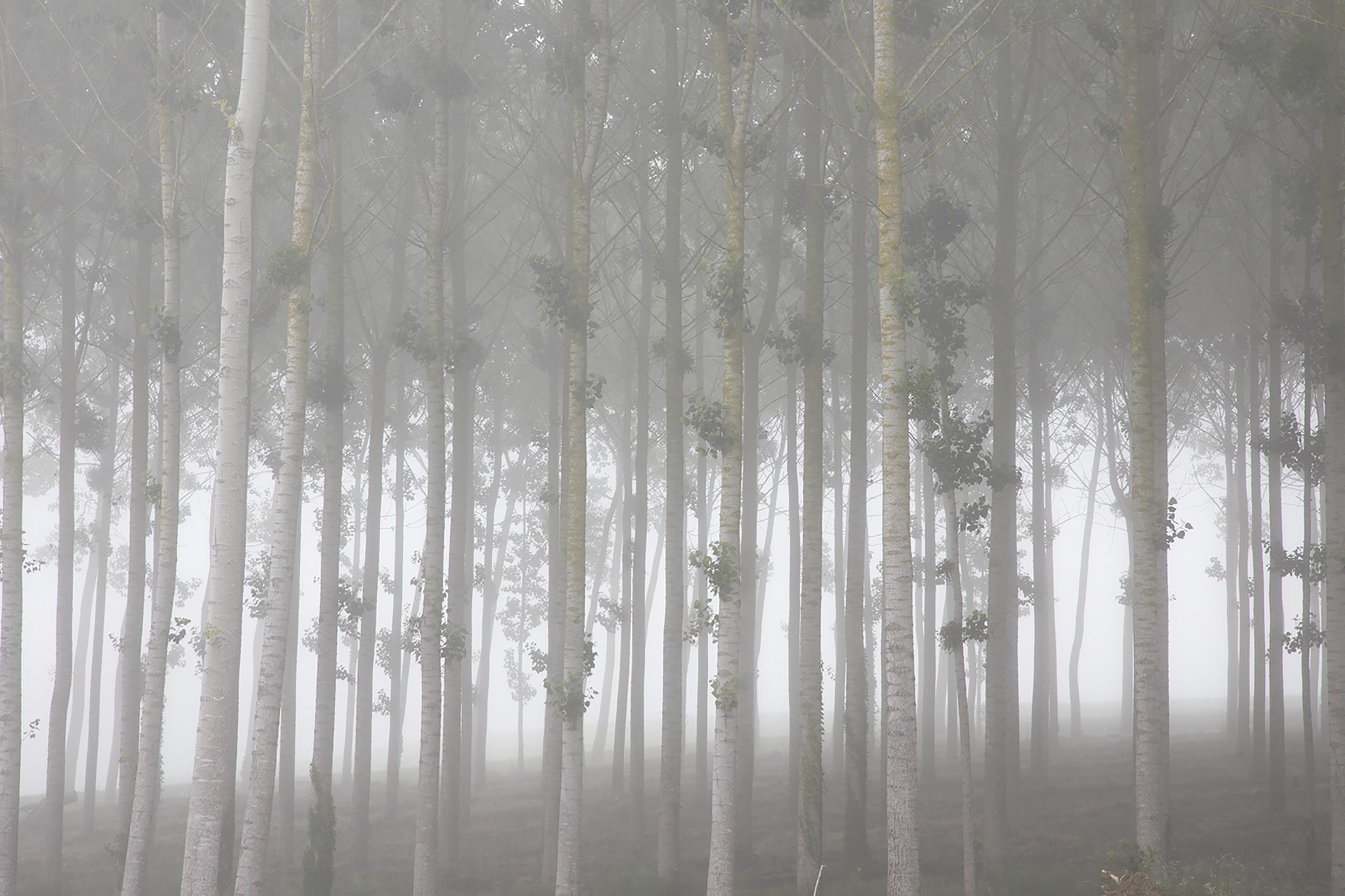Trees in the Mist 2.jpg