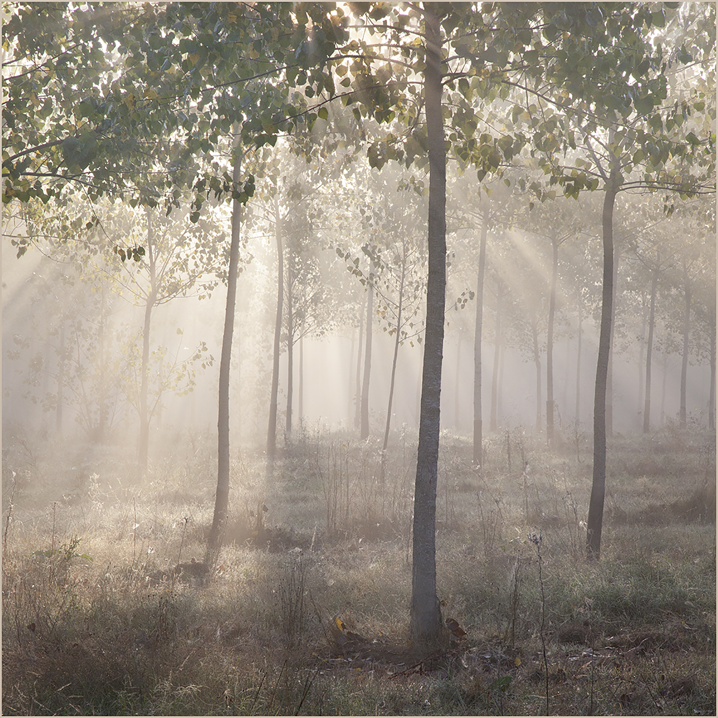 Sunbeams in the Misty Woods.jpg