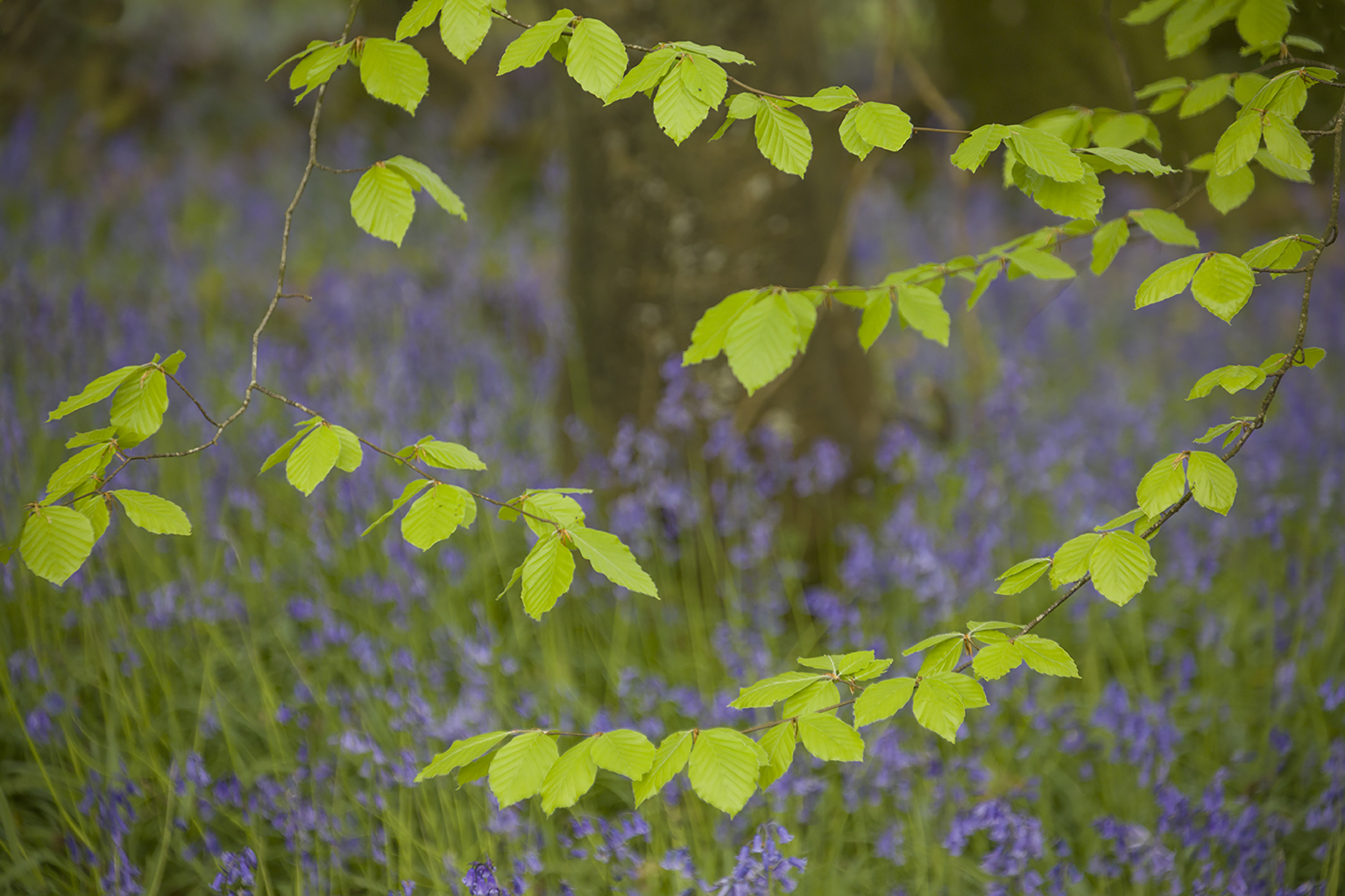 New Leaves in the Bluebell Wood.jpg