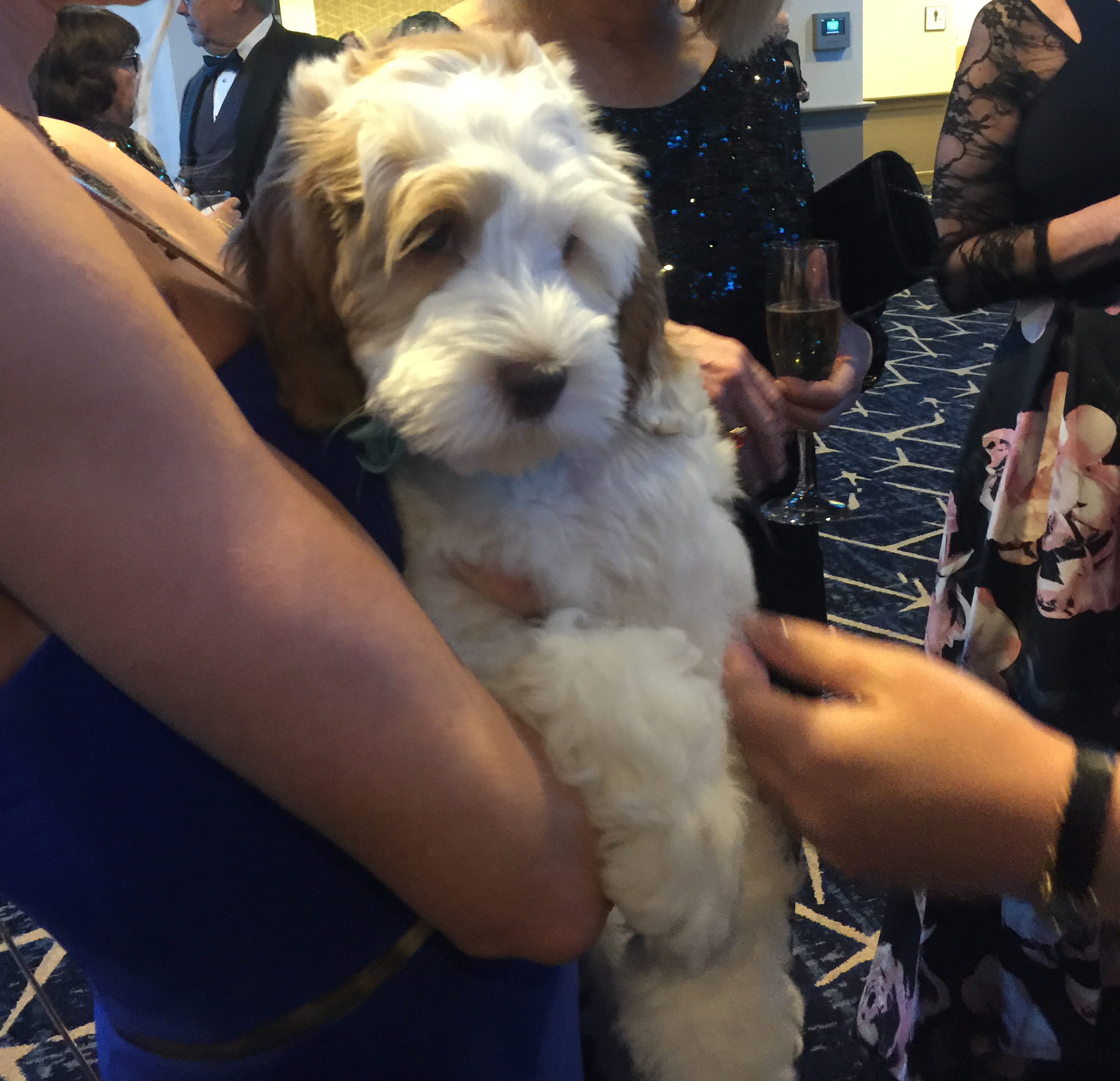 Dreamy, the Australian Labradoodle, was a star of the evening.