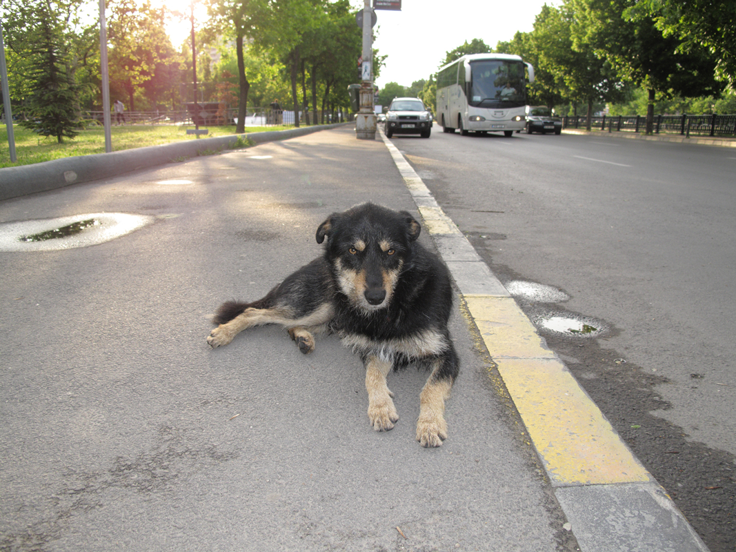 Dog-by-road-(looking-cross).png