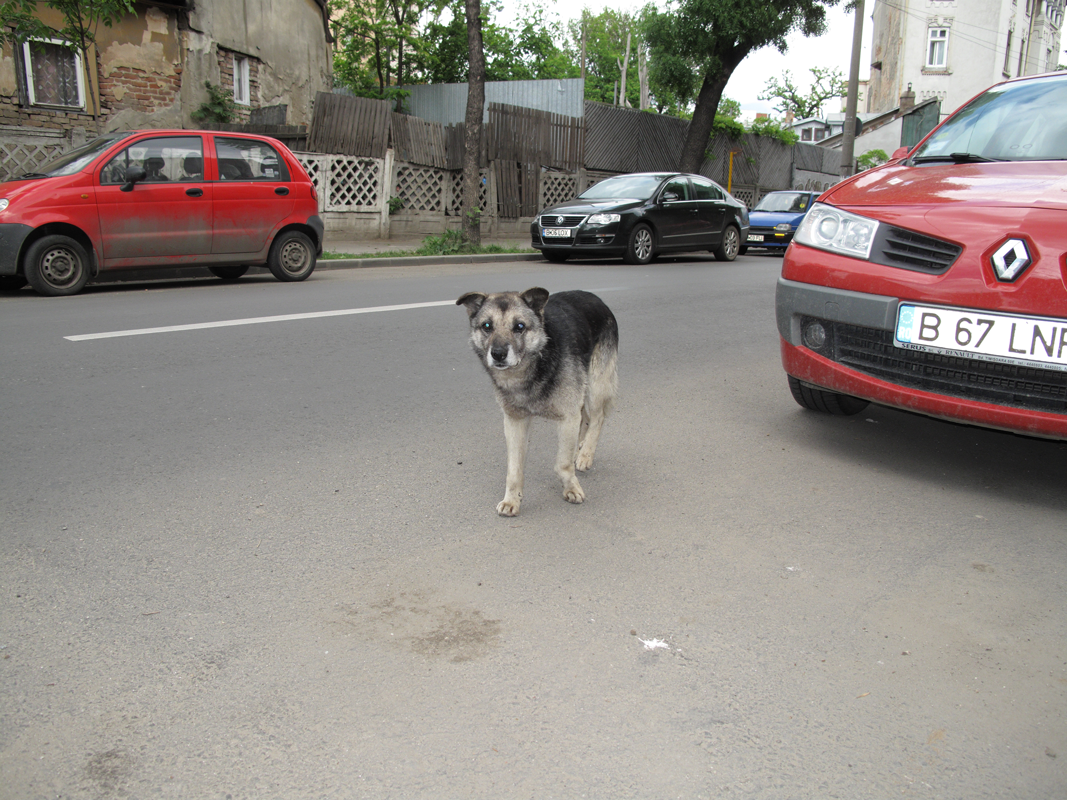 Dog-on-road-with-cataracts.png