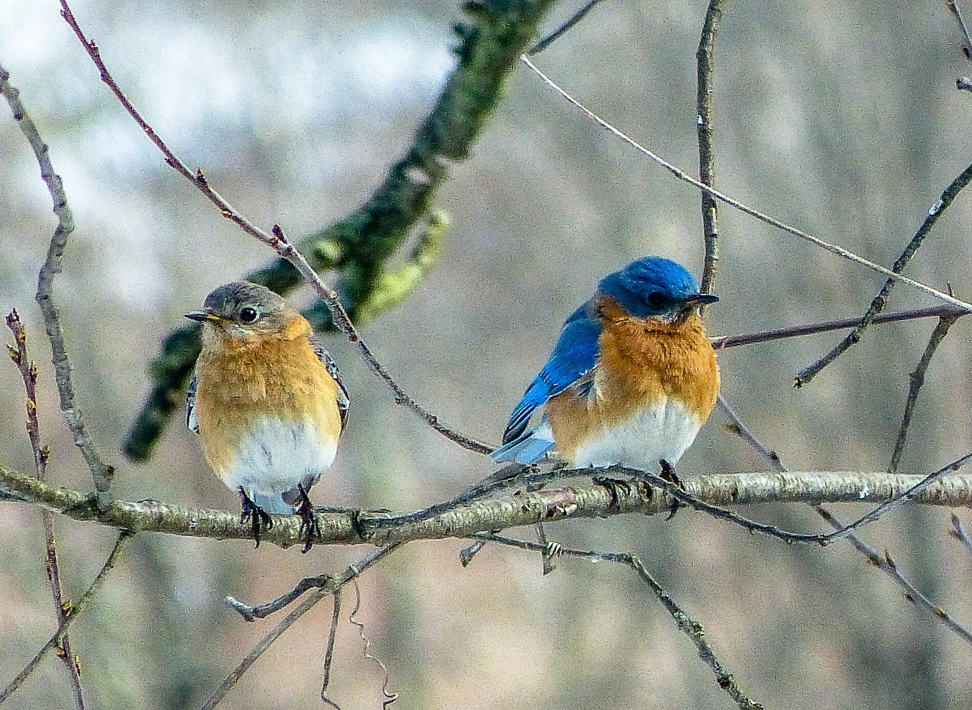 Terri Ackerman - bluebirds in love.jpg