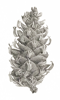 JK20190905-0608-botanical-pine cone-pencil drawing-small.png