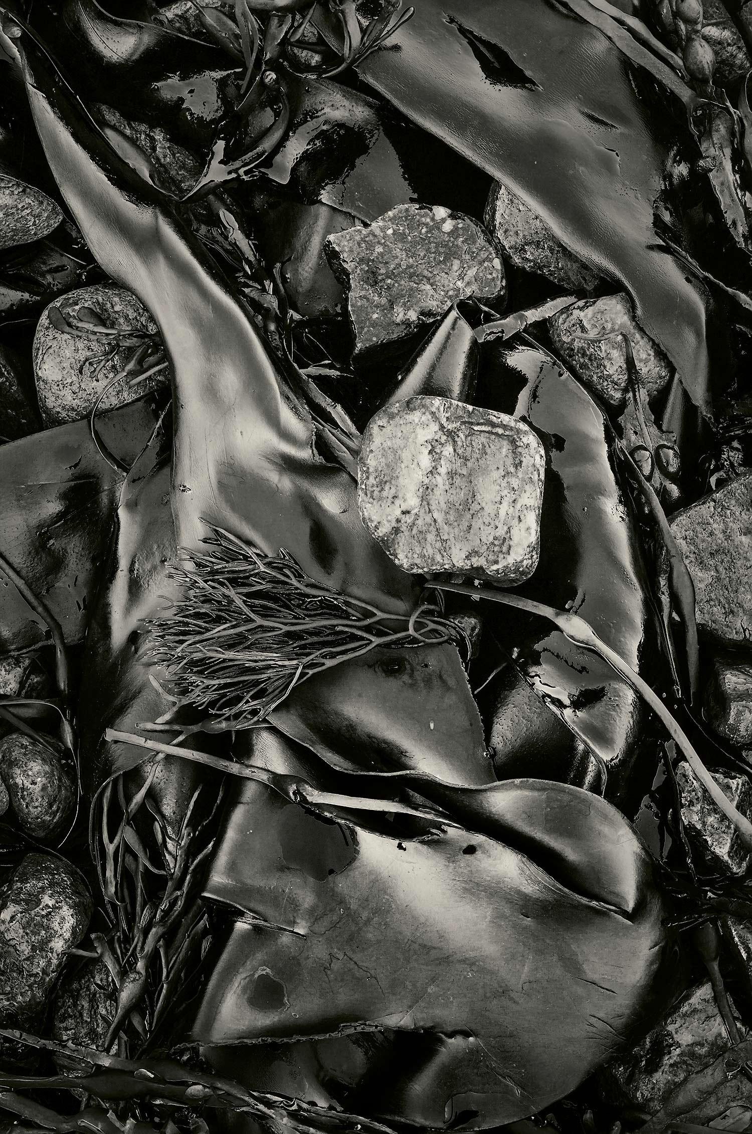 Seaweed 595, Seawall, Maine, 2012