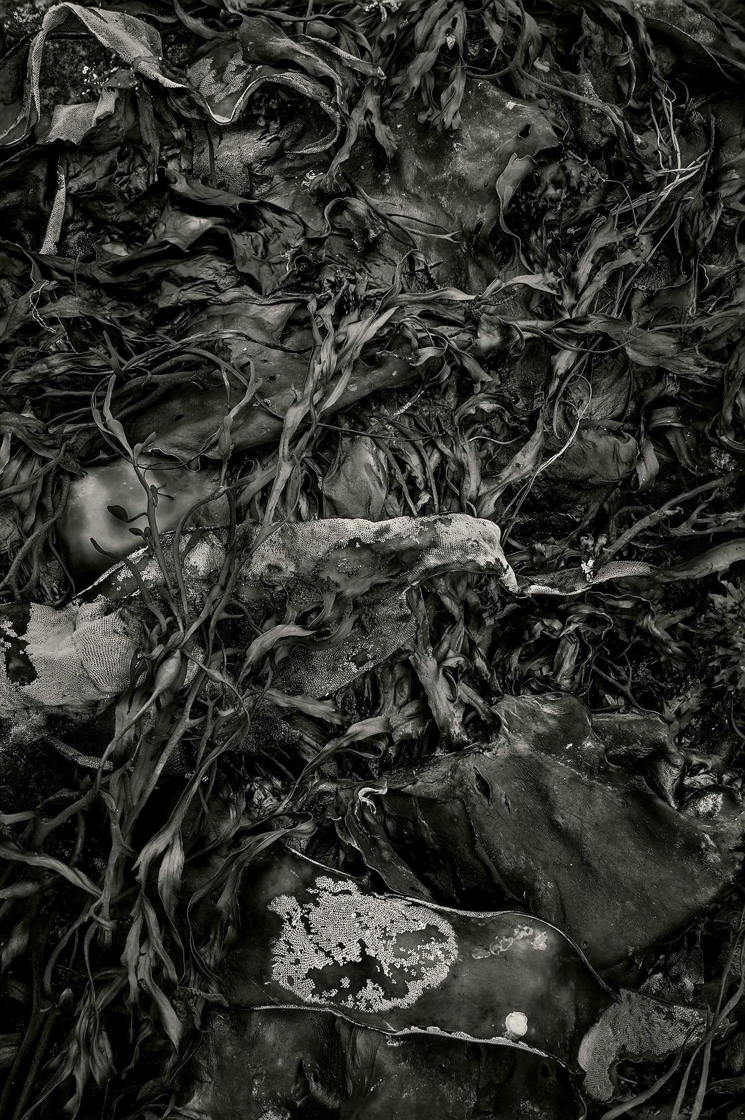 Seaweed 578, Seawall, Maine, 2012