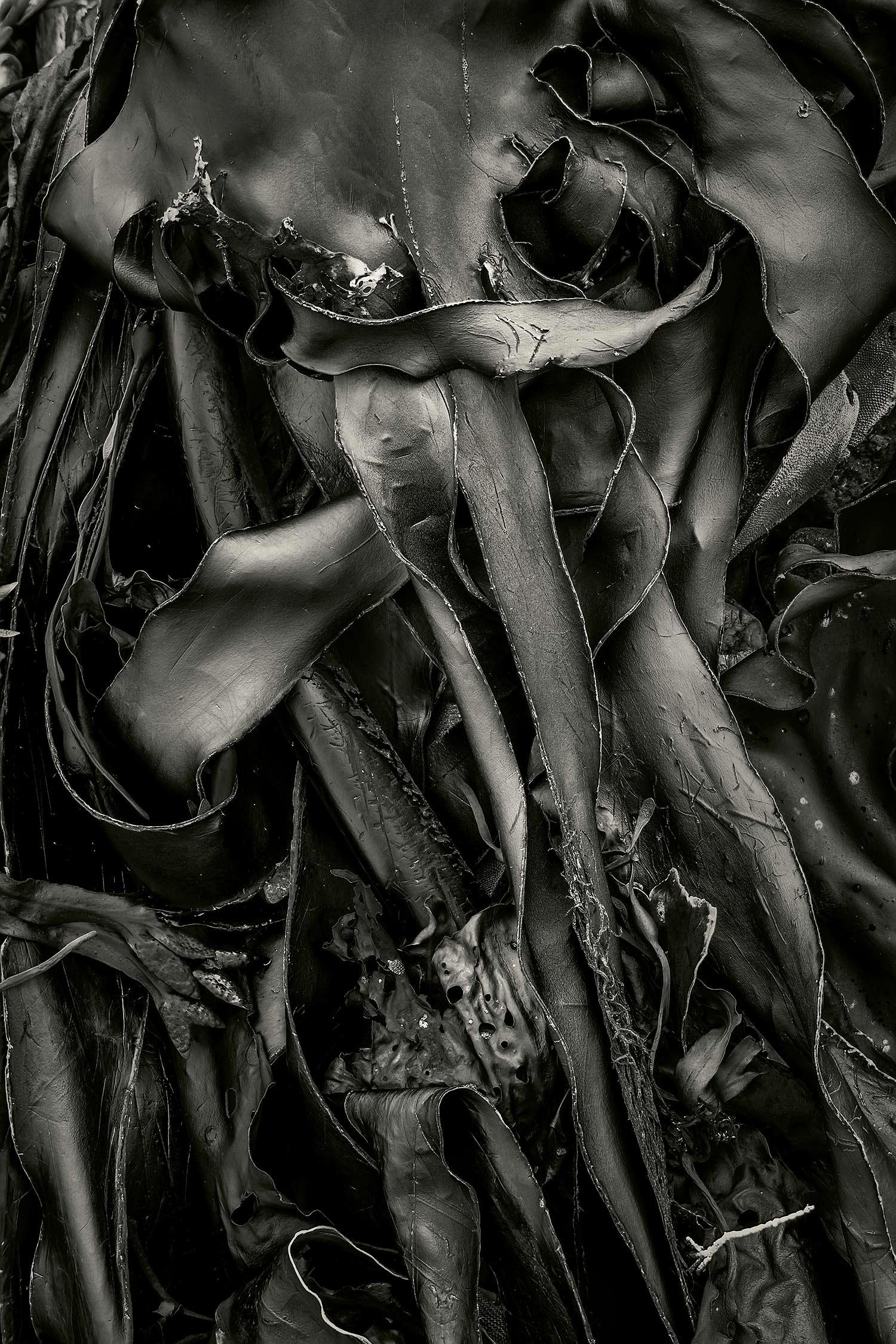 Seaweed 569, Seawall, Maine, 2012
