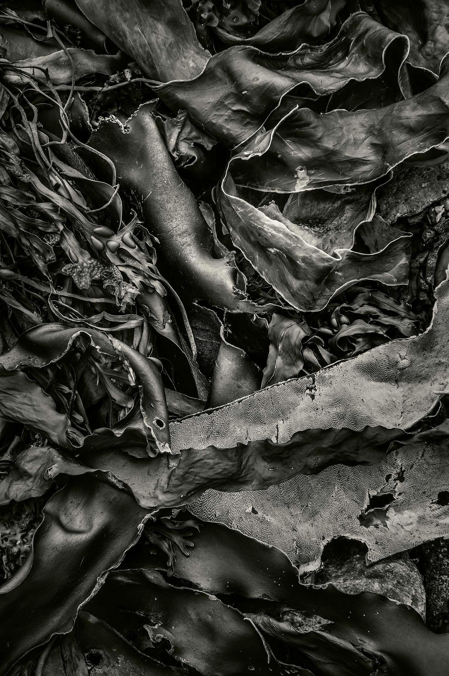 Seaweed 568, Seawall, Maine, 2012