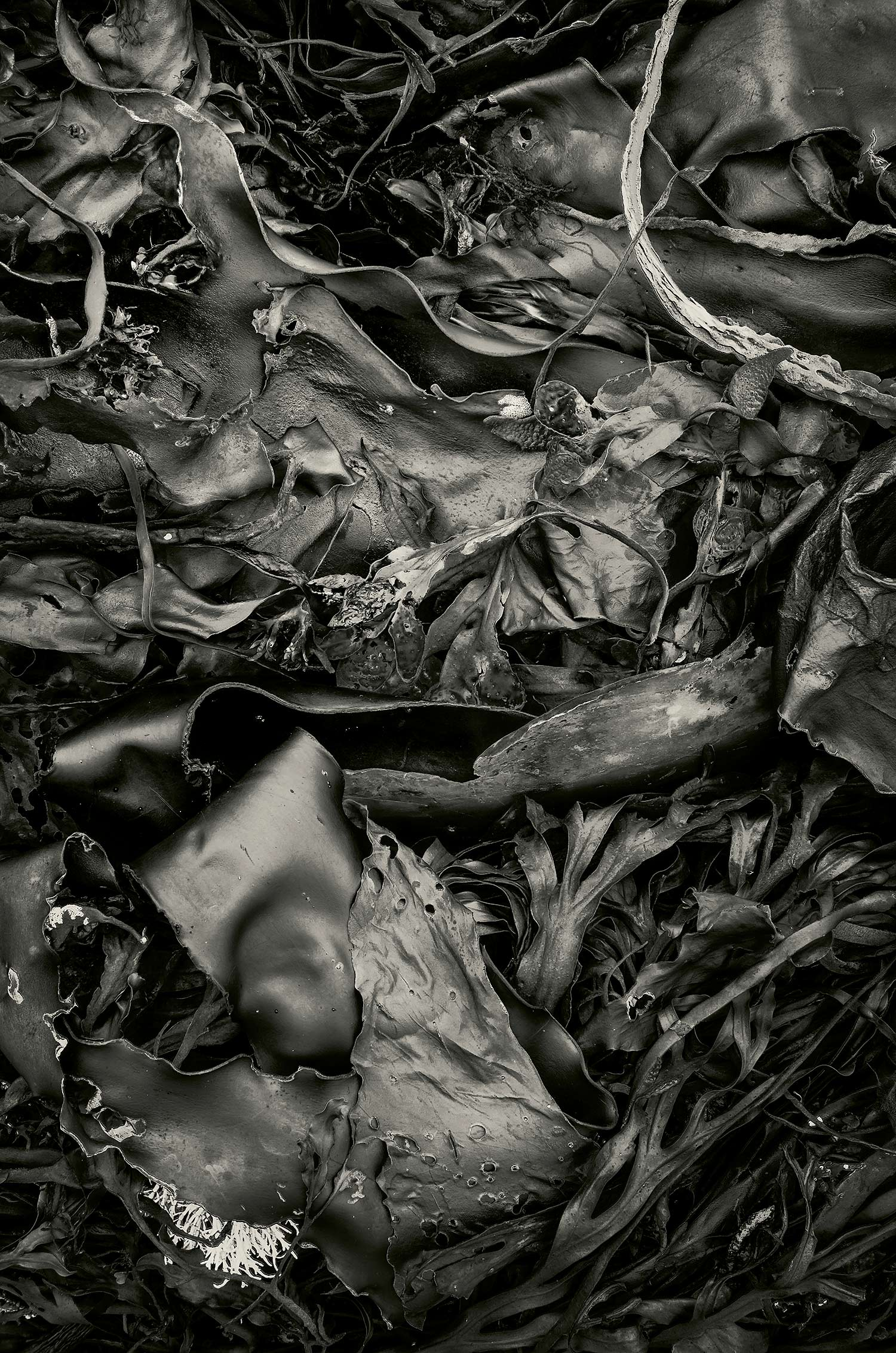 Seaweed 567, Seawall, Maine, 2012