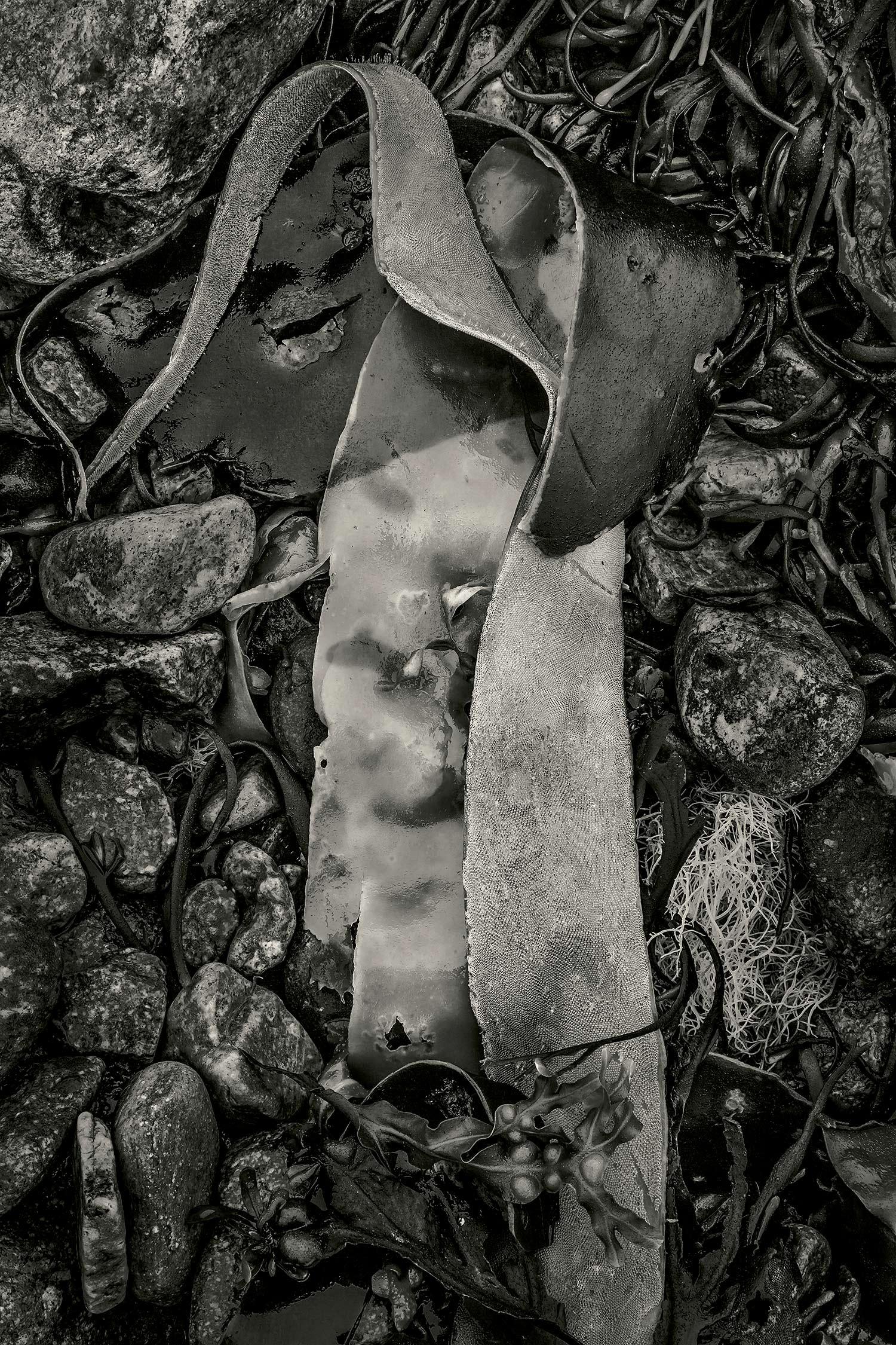 Seaweed 552, Seawall, Maine, 2012