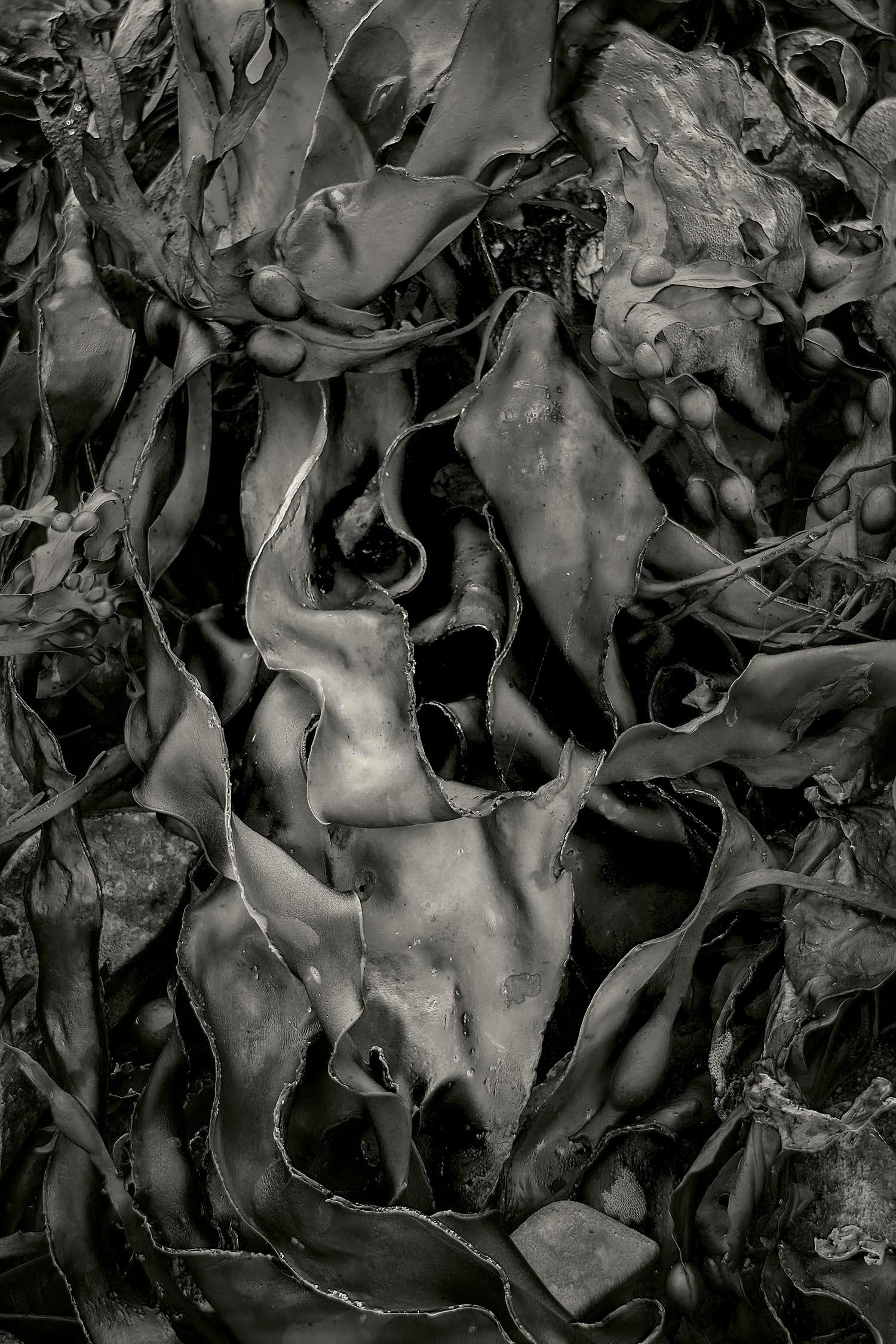 Seaweed 537, Seawall, Maine, 2012