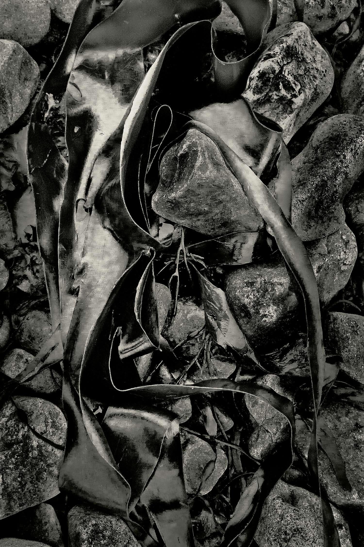 Seaweed 293, Seawall, Maine, 2011