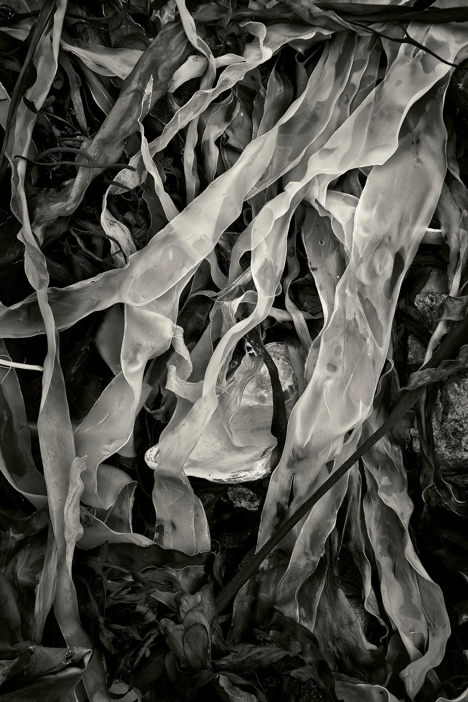 Seaweed 4, Seawall, Maine, 2011