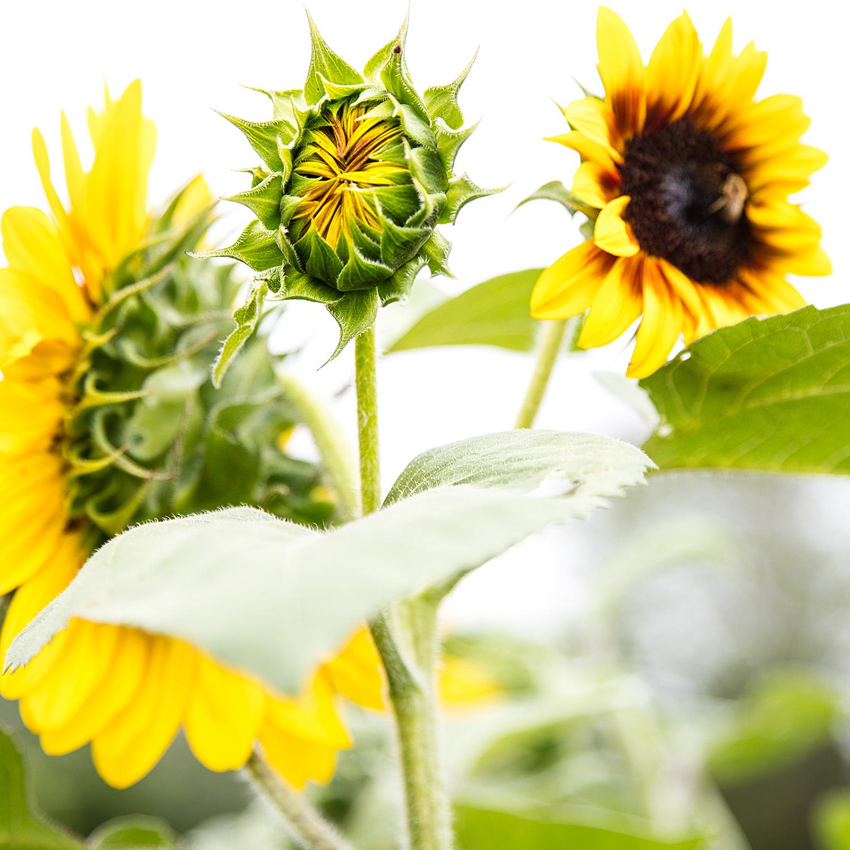 Sunflowers, Bar Harbor, Maine, 2018