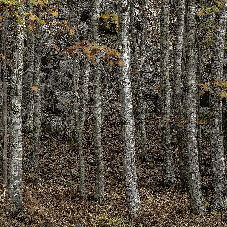Trees, Acadia National Park, Maine, 2017