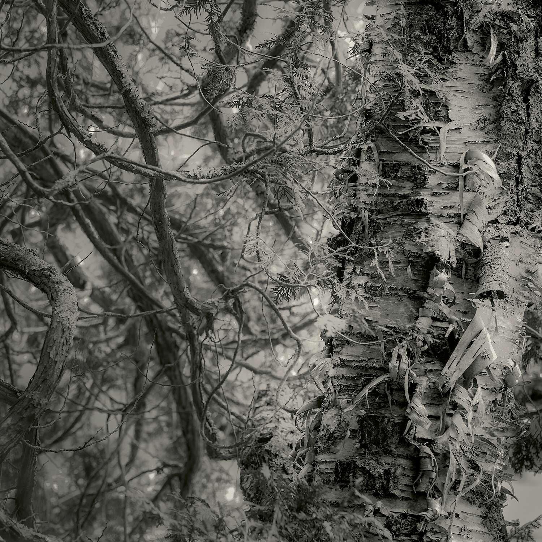 Tree Detail, Long Pond, Acadia, 2014