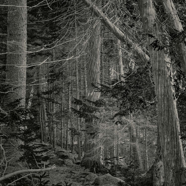 Trees, Long Pond, Acadia, 2014