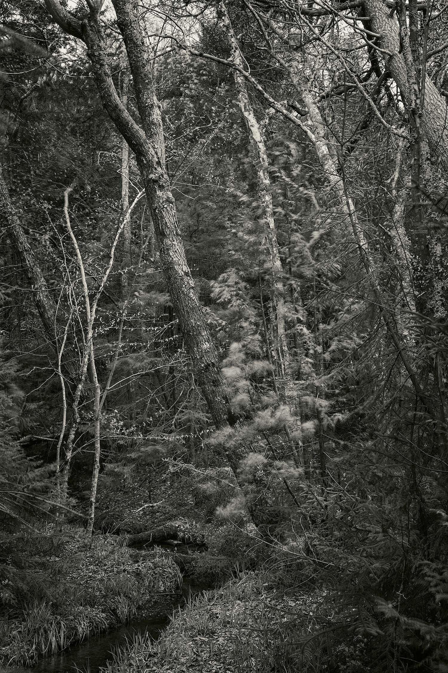 Trees at Long Pond, Acadia, 2016