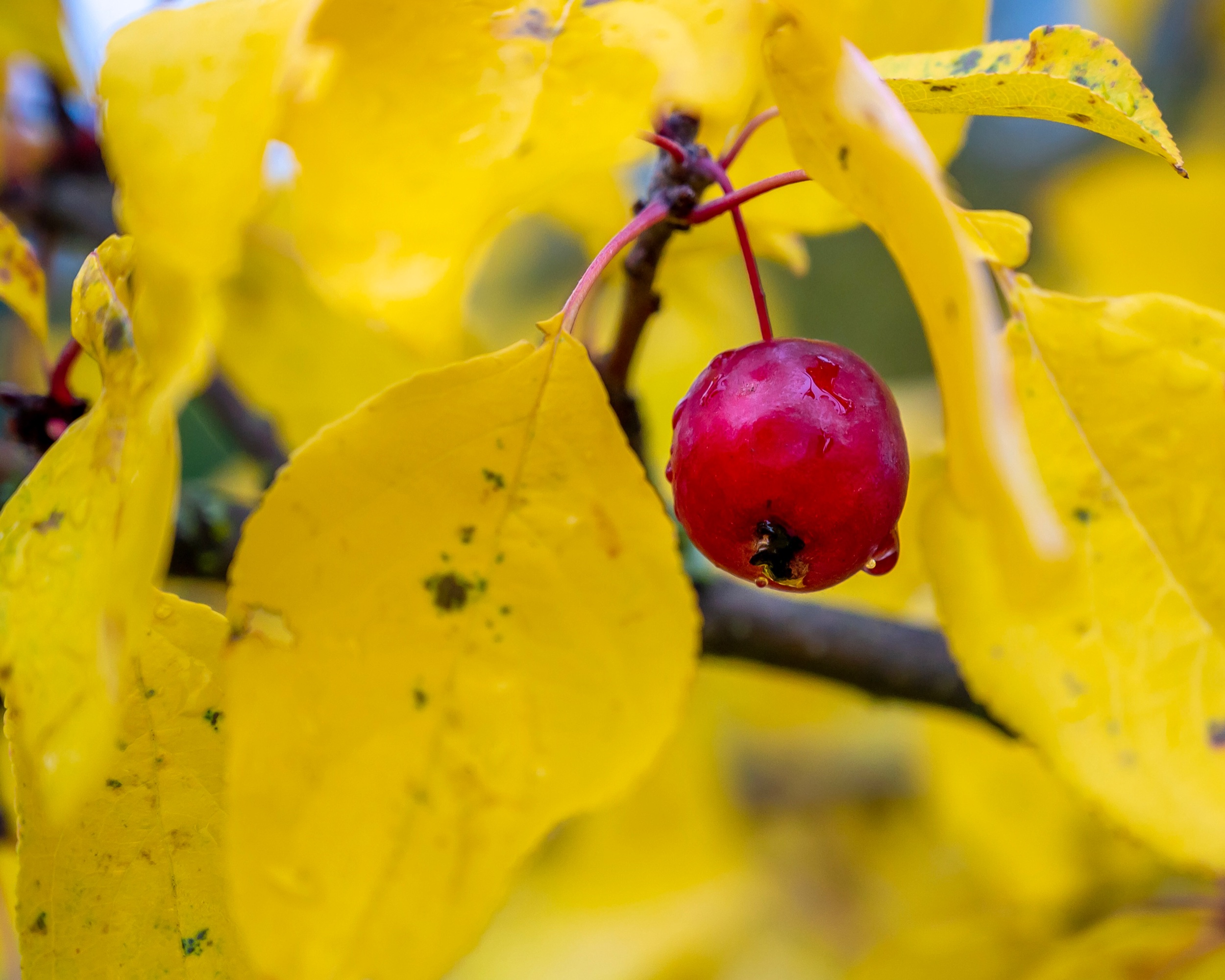 Cherry in the autumn tree