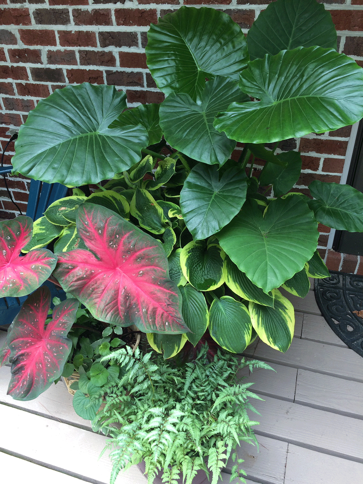 Container garden with elephant ear plants