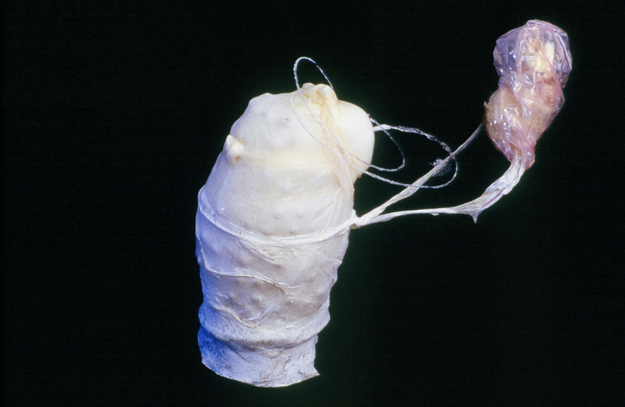 """Who Are You? Latex, sausage casings, wire, 7"""" x 7"""" 1998"""